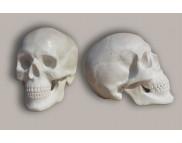 Череп анатомический с прорезными зубами (гипс) 193х152х267мм
